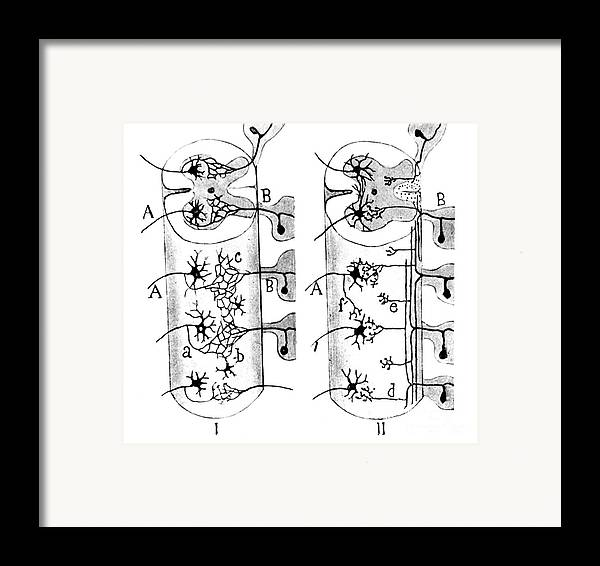 Science Framed Print featuring the photograph Neuroglia Cells Illustrated By Cajal by Science Source