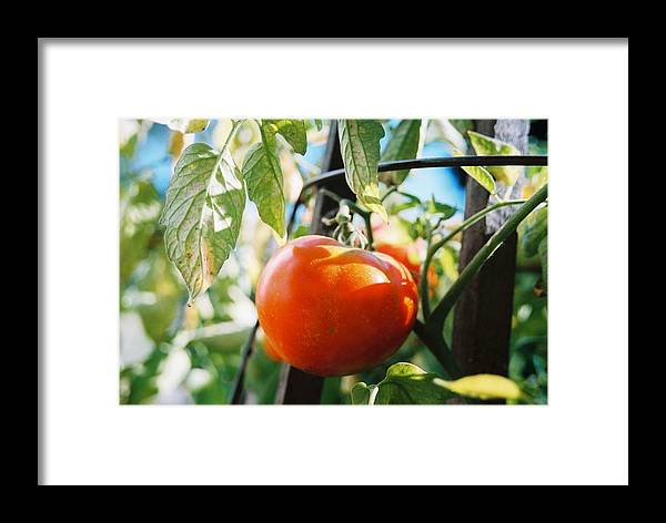 Tomato Framed Print featuring the photograph Never A Time More Opportune by Jennifer Trone