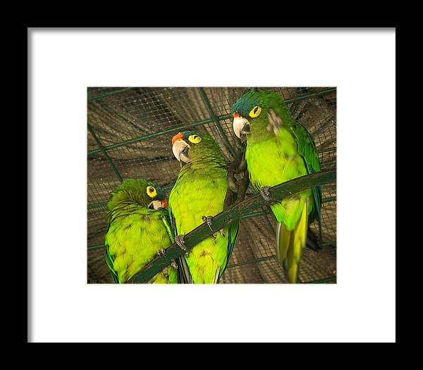 Animal Framed Print featuring the photograph New Moon Conures by Michele Stoehr