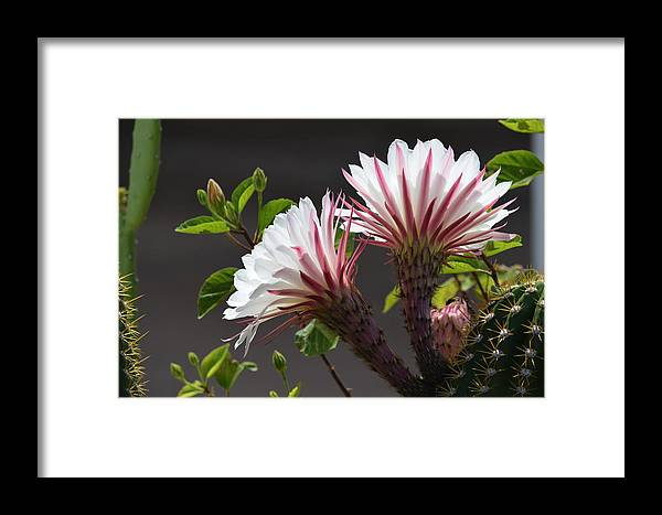 Flowers Framed Print featuring the photograph Night Bloomer by Diane Barone