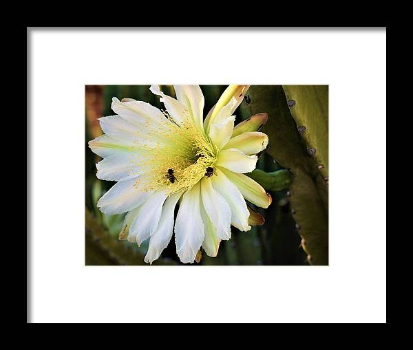 Night Blooming Cereus Framed Print featuring the photograph Night Bloomer by Kathleen Barngrover
