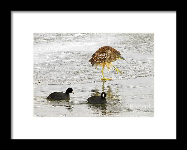 Bird Framed Print featuring the photograph Night Heron With Coots by Dennis Hammer