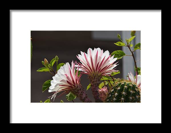 Flowers Framed Print featuring the photograph Nightbloomer by Diane Barone