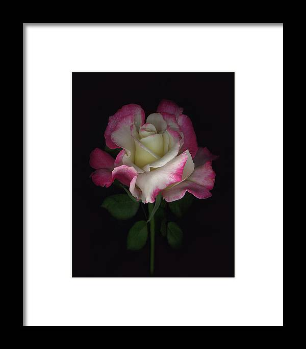 Rose Framed Print featuring the digital art Niki's Rose by Sandi F Hutchins
