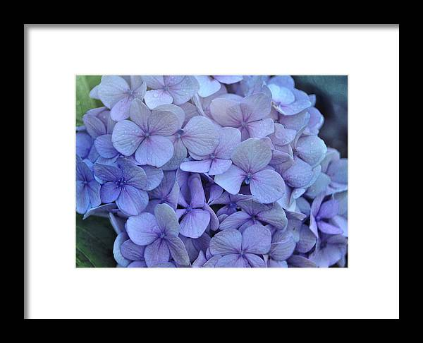 Cape Cod Framed Print featuring the photograph Nikko Blue Petals by JAMART Photography