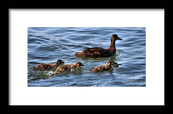 Mallard Ducks Framed Print featuring the photograph No Snacking Before Dinner by Sandra Huston