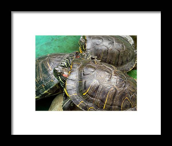 Turtle Framed Print featuring the photograph No Soup by Kathy Daxon