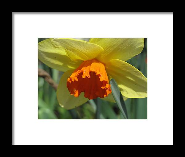 Daffodil Framed Print featuring the photograph Nodding Daffodil by Lea Novak