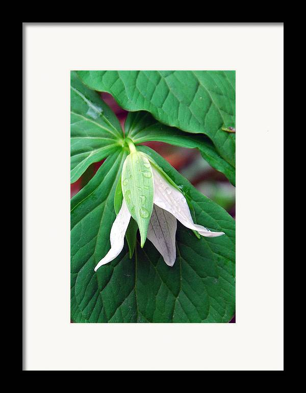 Trillium Framed Print featuring the photograph Nodding Trillium by Alan Lenk
