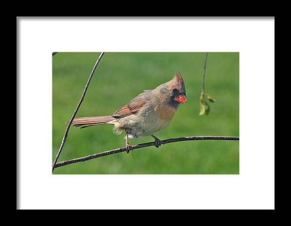 Nature Framed Print featuring the photograph Northern Cardinal -female by Raju Alagawadi