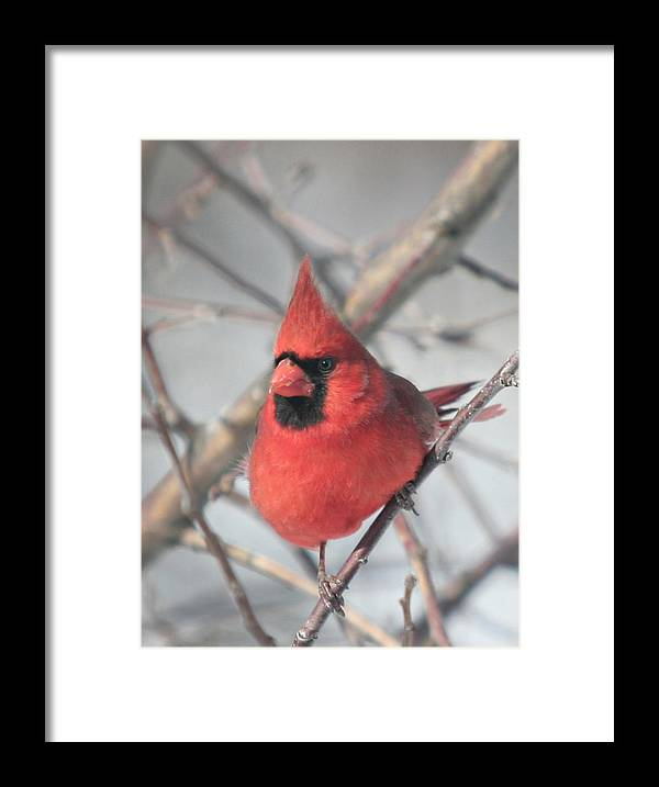 Bird Framed Print featuring the photograph Northern Cardinal In The Apple Tree 2 by Laurie With