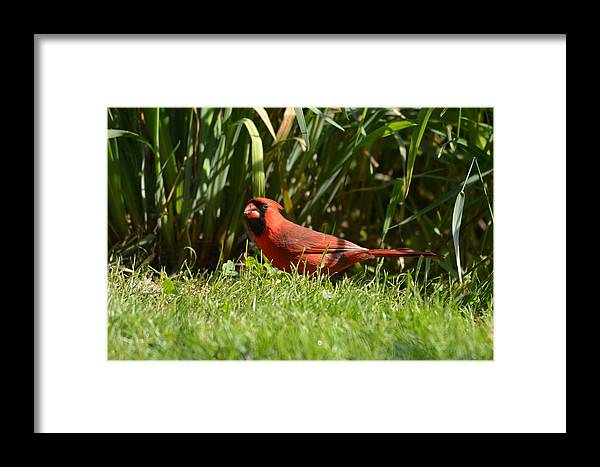 Cardinal Framed Print featuring the photograph Northern Cardinal by Shelley Smith