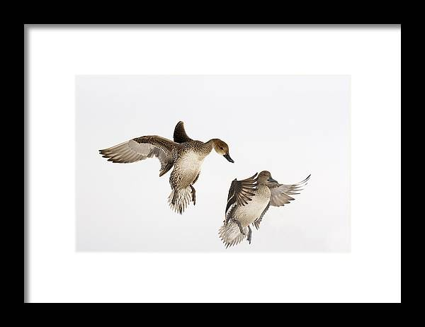 Fn Framed Print featuring the photograph Northern Pintail Anas Acuta Duck by Wim Weenink