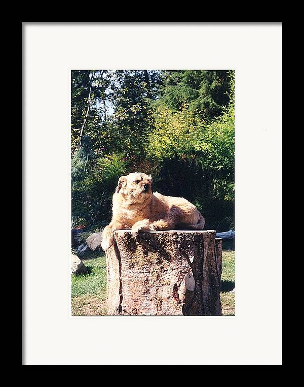 Border Terrier Framed Print featuring the photograph Nui Sunbathing by Laura Johnson
