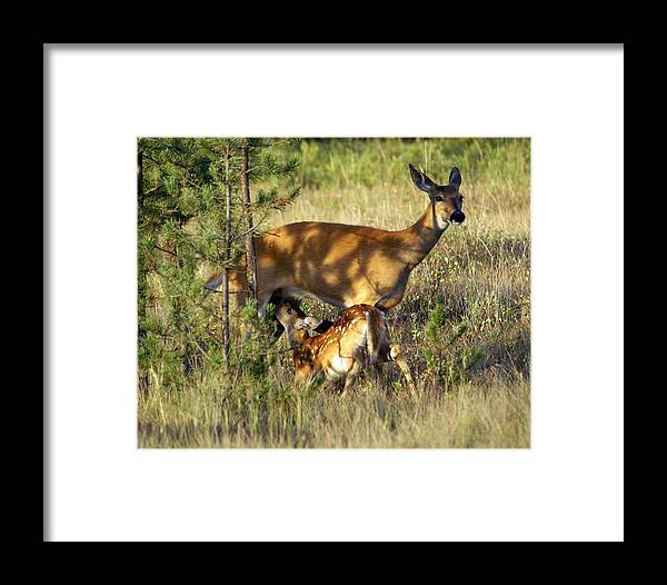 Deer Framed Print featuring the photograph Nursing Fawn by Marty Koch