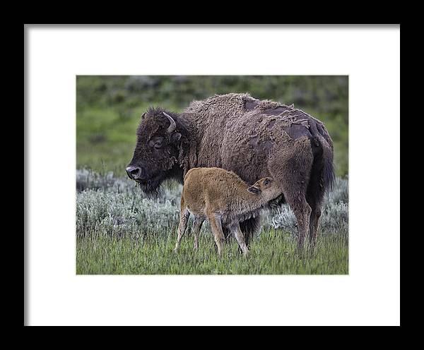 Bison Framed Print featuring the photograph Nurtured by Elizabeth Eldridge