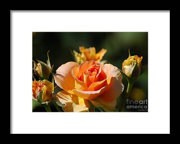 Flowers Framed Print featuring the photograph O range-ment by Larry Keahey