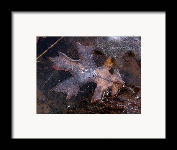 Macro Framed Print featuring the photograph Oak Preservation by Adam Long