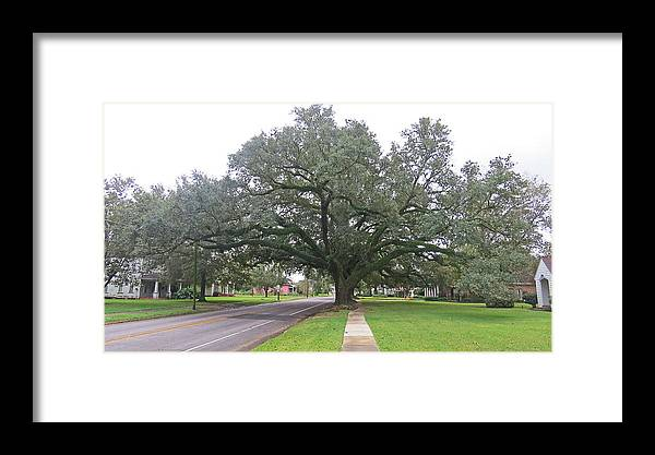 Nature Framed Print featuring the photograph Oak Tree Jennings Louisiana by Carl Deaville