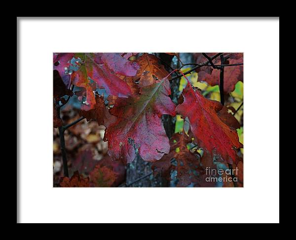 Framed Print featuring the photograph Oak by Virginia Levasseur