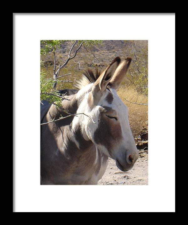 Photography Framed Print featuring the photograph Oatman Burro by Lessandra Grimley