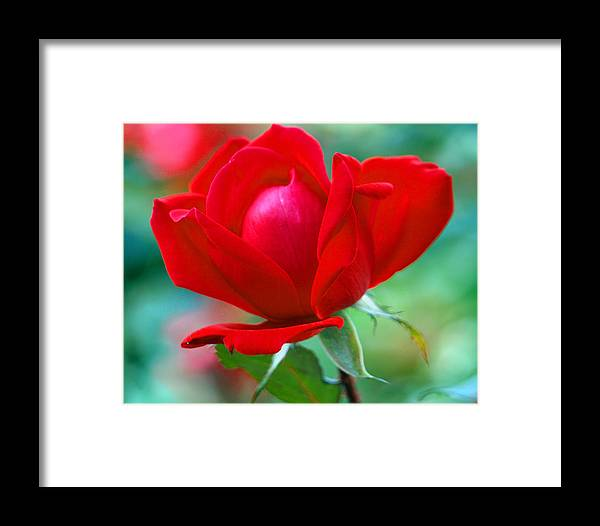 Rose Framed Print featuring the painting October Red by Kim
