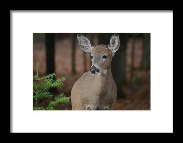 Deer Framed Print featuring the photograph Oh Dear by Deborah Napelitano