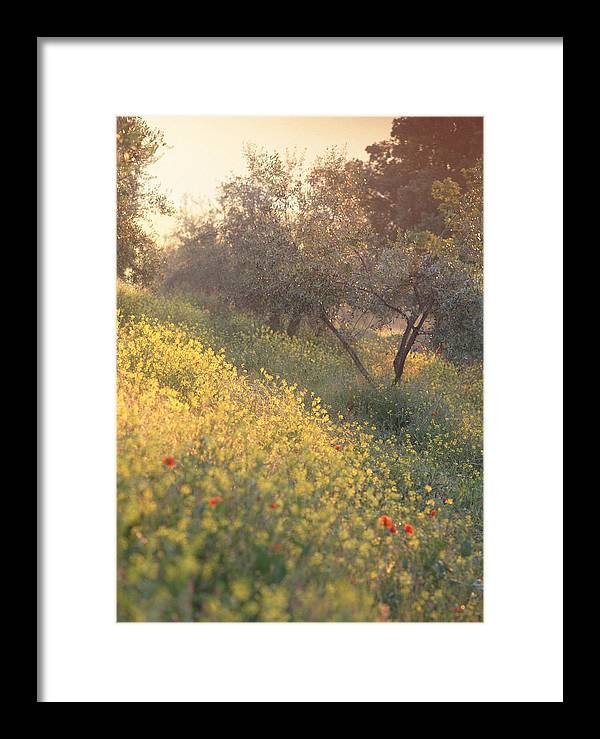 Tuscany Framed Print featuring the photograph Olive Grovetuscany by Michael Hudson