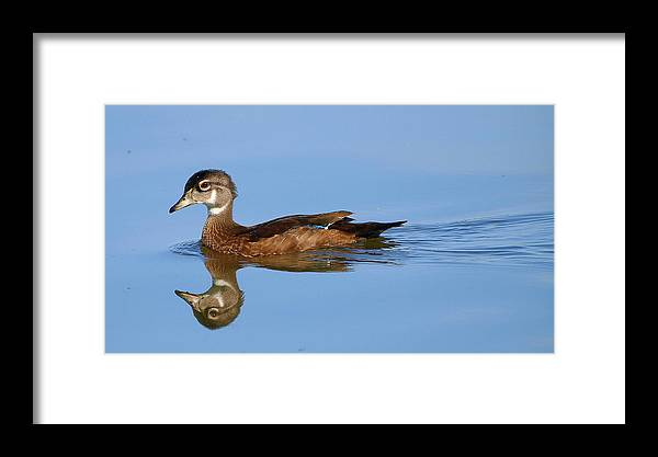 Aix Sponsa; Wood Duck; White Rock Lake; Dallas Texas; Sunset Bay; Juvenile Wood Duck; Reflection Framed Print featuring the photograph On A Clear Day You Can See.....your Reflection by Kala King