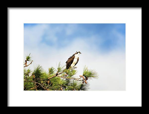Osprey Framed Print featuring the photograph On High by Michael McStamp
