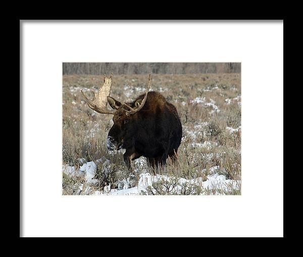 Moose Framed Print featuring the photograph On His Way by DeeLon Merritt