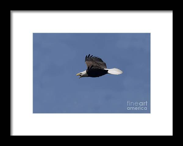 Bald Eagle Framed Print featuring the photograph On Level Eagle In Flight by Daniel Earnhardt