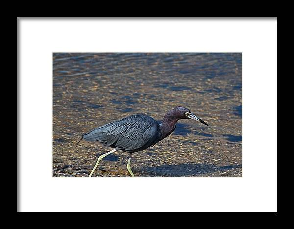 Heron Framed Print featuring the photograph On The Banks Of The Backwater by Michiale Schneider