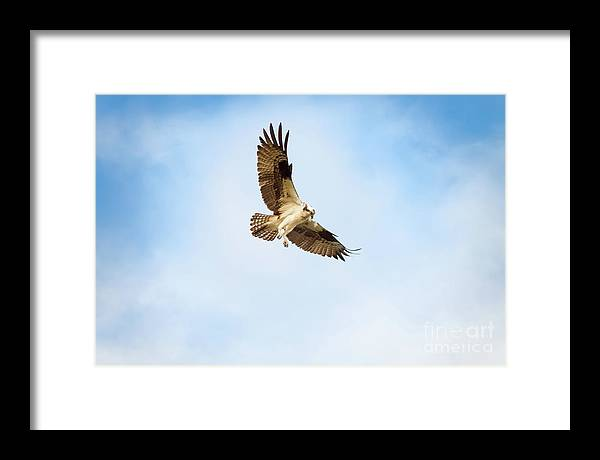 Osprey Framed Print featuring the photograph On the Hunt Three by Michael McStamp