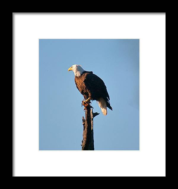 Eagle Framed Print featuring the photograph On The Look Out by Robert Pearson