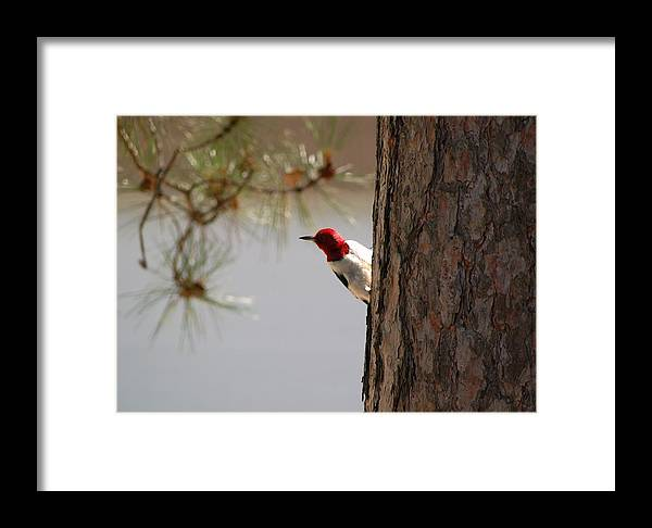 Woodpecker Framed Print featuring the photograph On The Lookout by Jennifer Englehardt