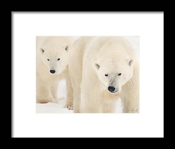 Bears Framed Print featuring the photograph On The Move by Joe Bonita