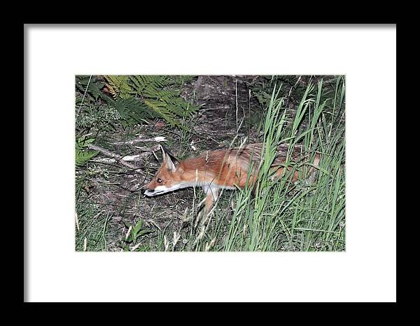 Animal Framed Print featuring the photograph On The Prowl by Glenn Gordon