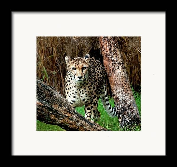 Western Australia Framed Print featuring the photograph On The Prowl by Heather Thorning