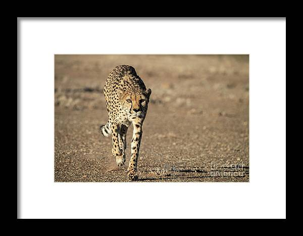Wildlife Framed Print featuring the photograph On The Run by Sandra Bronstein