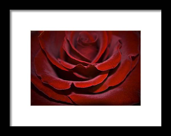 Rose Framed Print featuring the photograph One Red Rose by Svetlana Sewell