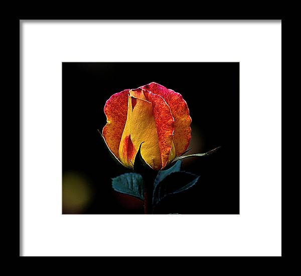 Rose Framed Print featuring the photograph One Rose by Galeria Trompiz