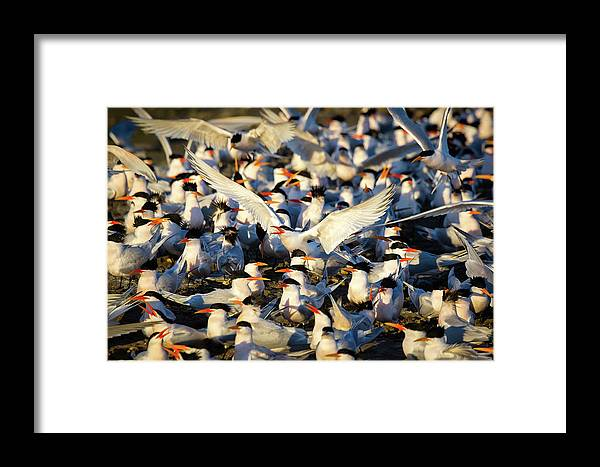 Tern Framed Print featuring the photograph Open Season by Brian Knott Photography