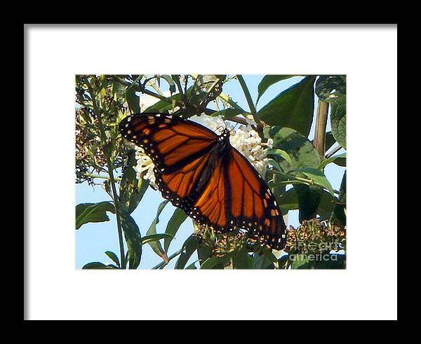 Butterfly Framed Print featuring the photograph Opened Wings by CAC Graphics