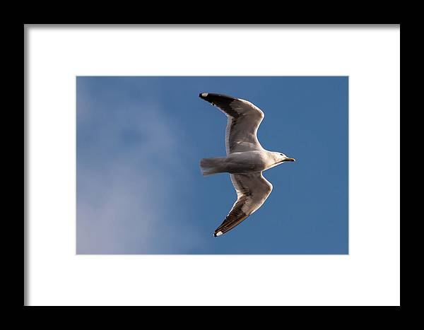 Seagull Framed Print featuring the photograph Open Wings by Fausto Capellari