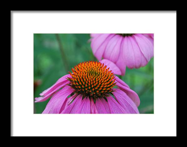 Flower Framed Print featuring the photograph Orange And Purple by John Roncinske