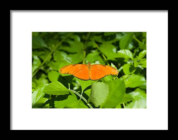 Orange Framed Print featuring the photograph Orange Butterfly by Douglas Barnett