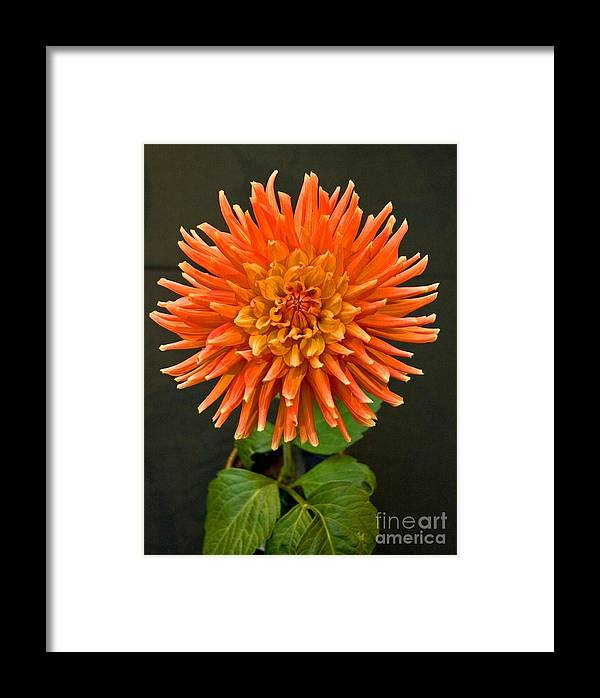 Flower Framed Print featuring the photograph Orange Dahlia by Allan Einhorn