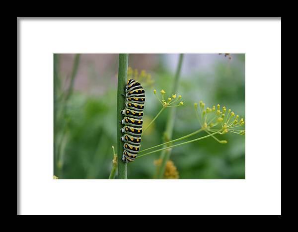Caterpillar Framed Print featuring the photograph Orange Dot Caterpillar by Butter Milk