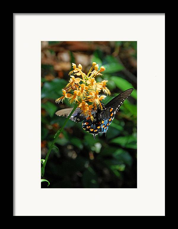 Ochid Framed Print featuring the photograph Orange Fringed Orchid by Alan Lenk